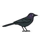 Brewer's Blackbird (Male) by KeesKiwi