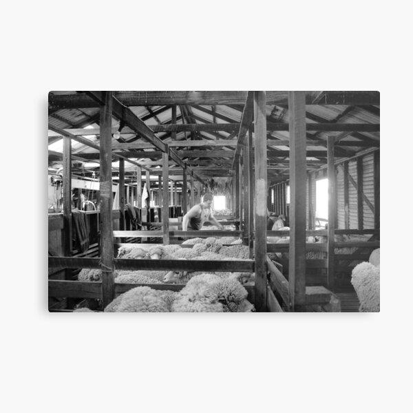 Shearing Shed Lismore Vic Day 1. Metal Print