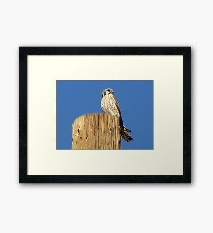 American Kestrel ~ Female Framed Print