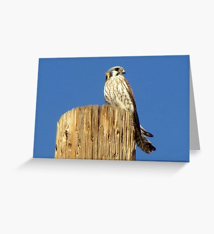 American Kestrel ~ Female Greeting Card