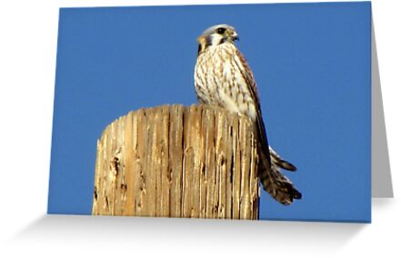 American Kestrel ~ Female by Kimberly Chadwick