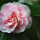 Camellia- Pink by Marylamb