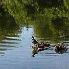 Guarding My Sleeping Family - a Mother Duck and Ducklings on the Pond by Georgia Mizuleva