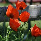 Poppies In The Wind by AverysGarden
