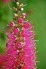 Pink Curls by Renee Hubbard Fine Art Photography