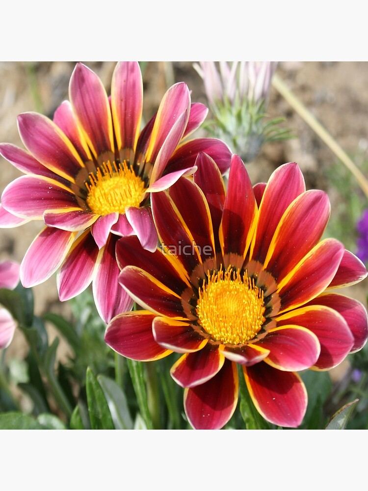 Burgundy Pink and Orange Gazania by taiche