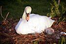 Mother and Cygnets by Michael Haslam