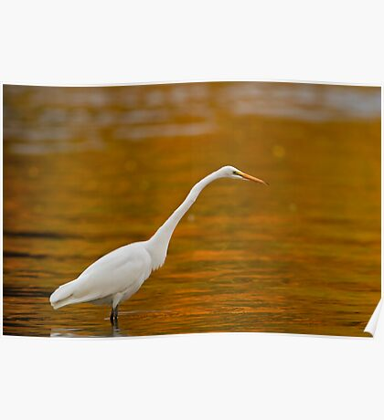Early Morning Egret Poster