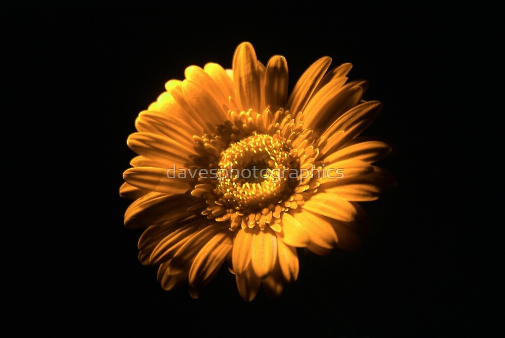 Orange Flower by davesphotographics