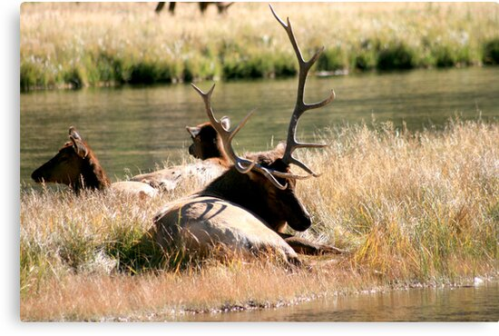 Elk along Madison River in Yellowstone by chrisolsenphoto