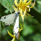 BUTTERFLY SERIES : Forest White _Belenois zochalia zochalia_ by Magriet Meintjes