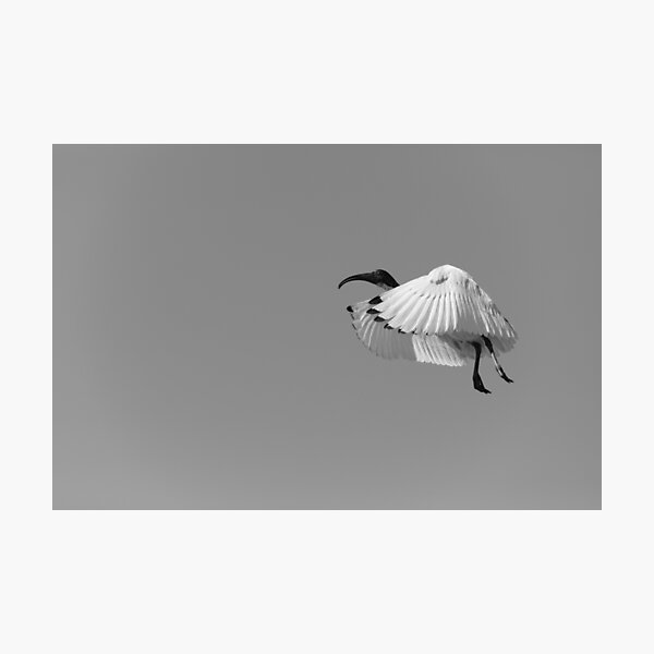 Ibis in the Air Photographic Print