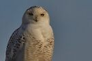 Icy Stare of the Snowy Owl by fototakerTony