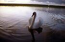 Sunset swan by Michael Haslam