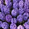 Grape and Large Hyacinth bulbs