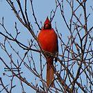 Cardinal Greetings by Dee Belanger