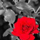 Just Rose Red by ElyseFradkin