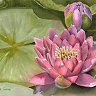 Pink Water Lily by Anne Sainz