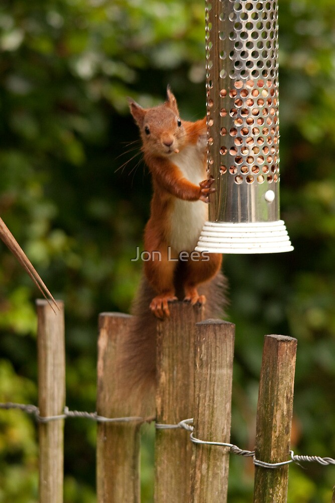 European red squirrel by jon lees redbubble for Home decor newtownards