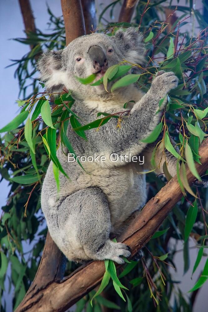 Koala eating Eucalyptus by Brooke Ottley