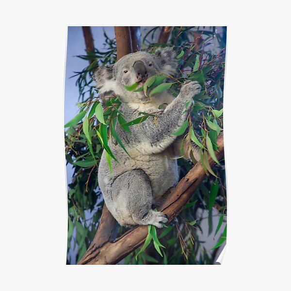 Koala eating Eucalyptus Poster