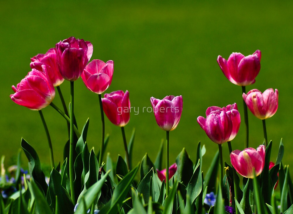 tulips by gary roberts