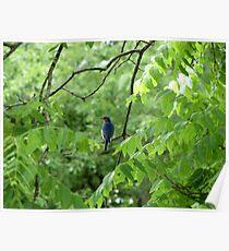 Eastern Bluebird (Sialia sialis) 2 Poster