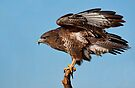 Buzzard on a stick by Val Saxby
