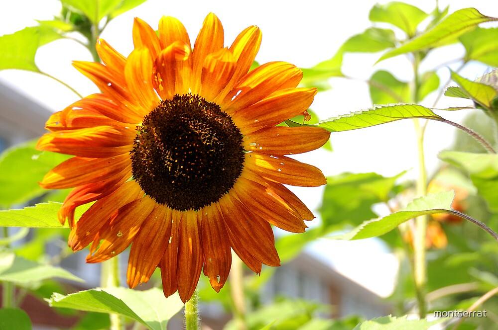 Like a Sunflower by montserrat