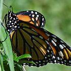 Finally a Monarch by vigor