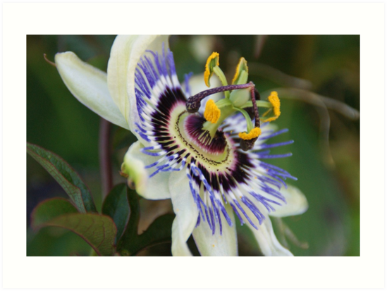 Passionflower by marens
