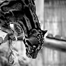 Clouded Leopard by JMChown
