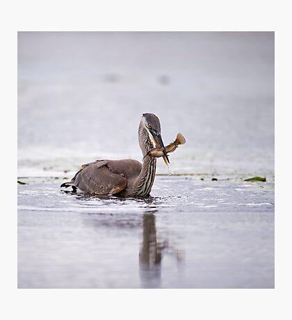 Heron with fish  Photographic Print