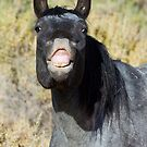 Wild Blue Roan Mare... Checking Me Out by A.M. Ruttle