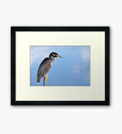 Yellow-Crowned Night-Heron Framed Print