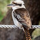 Kooka on a Rope by Steve Randall