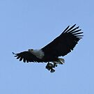 African fish eagle with breakfast! by Anthony Goldman