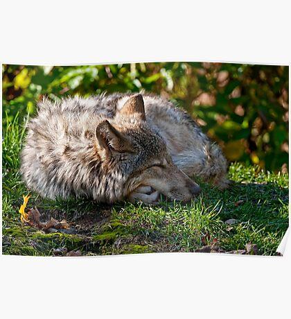 Sleeping Timber Wolf Poster