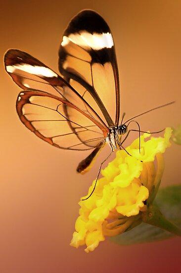 Glasswing Butterfly by Lyn Evans