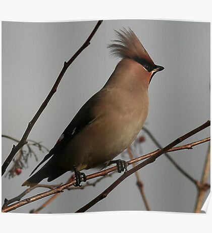 The Waxwing Poster
