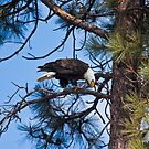 Bald Eagle near Sweathouse Creek by amontanaview