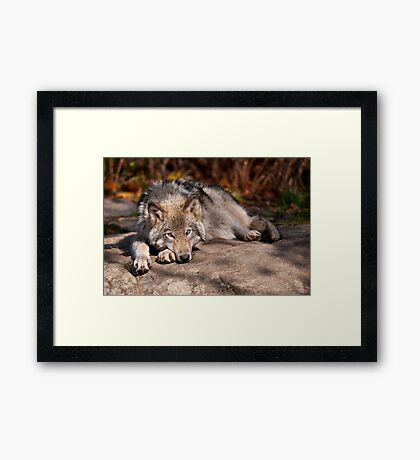 Timber Wolf At Rest Framed Print