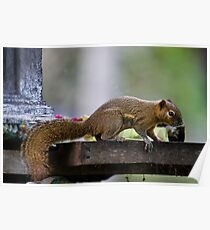 Temple Thief, Plaintain Squirrel, Callosciurus notatus Poster