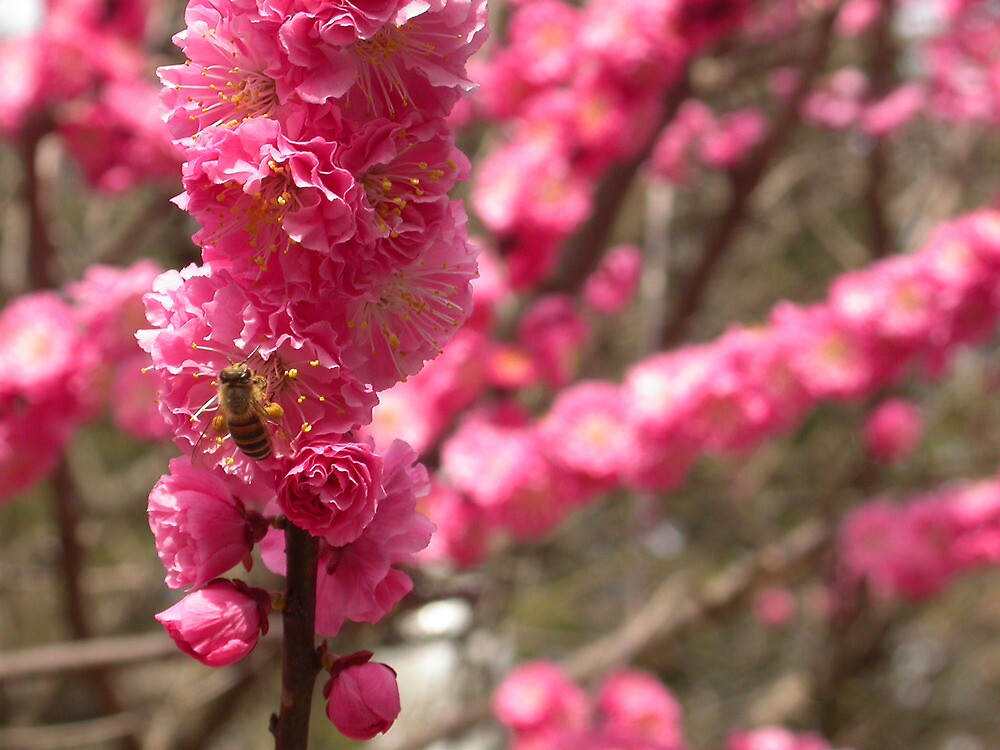 Bee on Cherry Blossom, Kyoto, Japan by Stephen Tapply