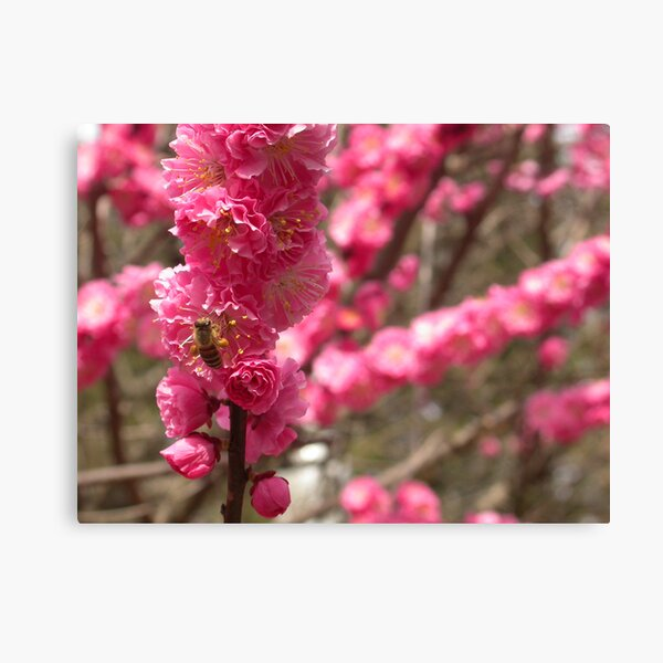 Bee on Cherry Blossom, Kyoto, Japan Canvas Print