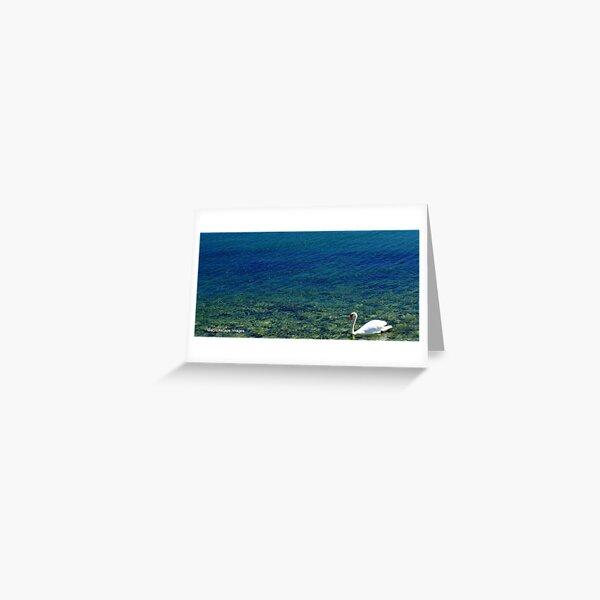 A Lone Swan Greeting Card