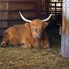 Scottish Highland Cow by ECH52