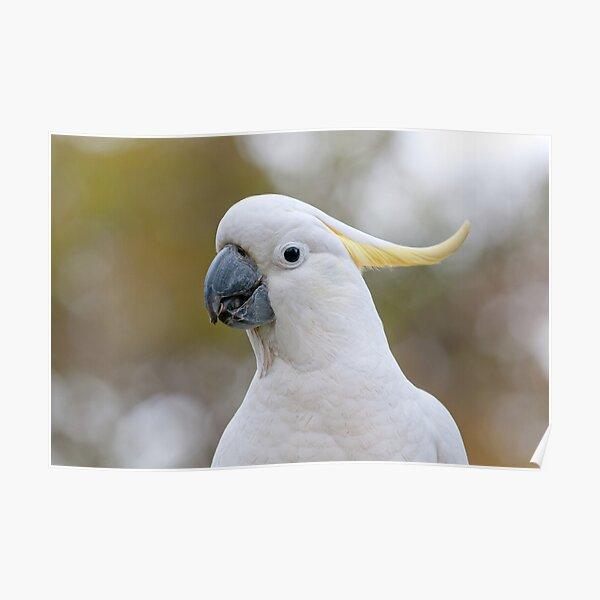 Sulphur-crested Cockatoo - Cacatua galerita Poster