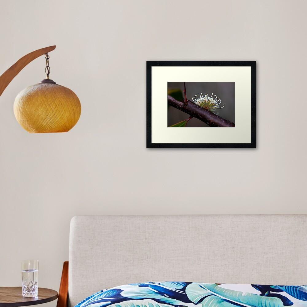 Hakea florulenta Framed Art Print