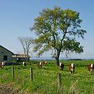 Cows, Gippsland, Victoria. by johnrf